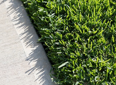 Why Sir Walter Buffalo is Australia's Number One Lawn?