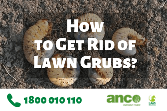 How to Get Rid of Lawn Grubs in Australia?