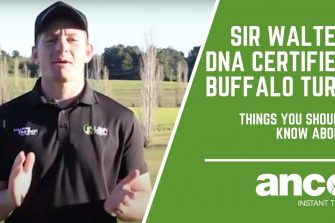 Sir Walter DNA Certified Buffalo Turf – Things You Should Know About