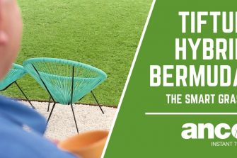 TifTuf Hybrid Bermuda – The Smart Grass