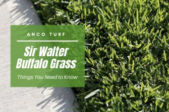 Sir Walter Buffalo Grass – Things You Need to Know
